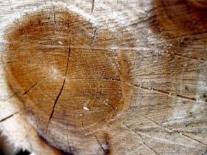 W Gdańsku wycięto stuletnie drzewa. Jest zawiadomienie. Mieli mieć pozwolenie Dulkiewicz