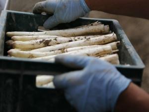 Die Welt: Setki Polaków zmuszonych do kwarantanny na farmie szparagów