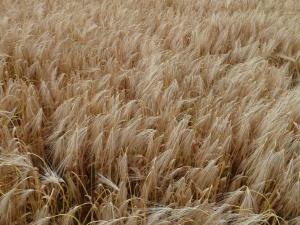 Według prezesa KRIR konieczne jest ubezpieczanie się rolników. Państwo nie pokryje im wszystkich strat