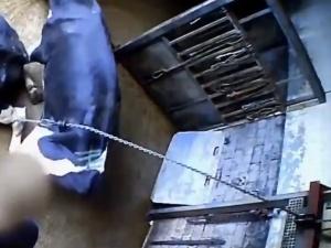 """[video] Masowe naruszenia w niemieckiej rzeźni. """"Chore krowy wleczone przy pomocy wyciągarki"""""""