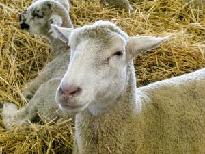 Ryszard Czarnecki: Strzyżenie owiec (i baranów) w europarlamencie…