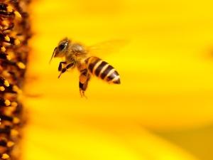 Gmyz do Spurek: Czy godzi się Pani zjadać warzywa, które są zapylane dzięki niewolniczej pracy pszczół?