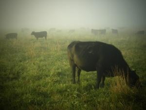 Gwiazda Dawida i pasiaki na... krowach. Antysemicka grafika ekologistów? Teraz się tłumaczą