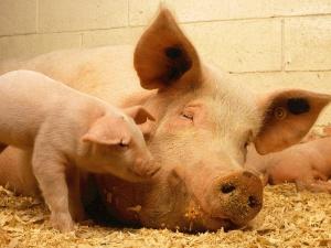 """Komisarz Wojciechowski o hodowli świń w PL: """"Wypierana jest niestety przez taśmy produkcyjne..."""""""