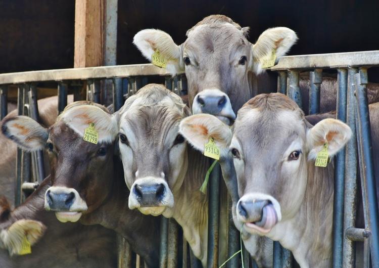 krowy w zagrodzie [Tylko u nas] Cezary Krysztopa: Pasterze i