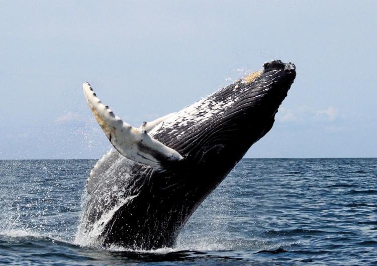 Whit Welles Wwelles14  Współczesny Jonasz. 56-letni mężczyzna znalazł się w paszczy wieloryba